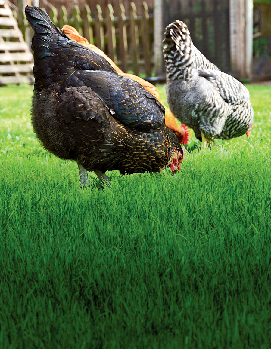 How to Keep Backyard Chickens in Houston | Edible Houston
