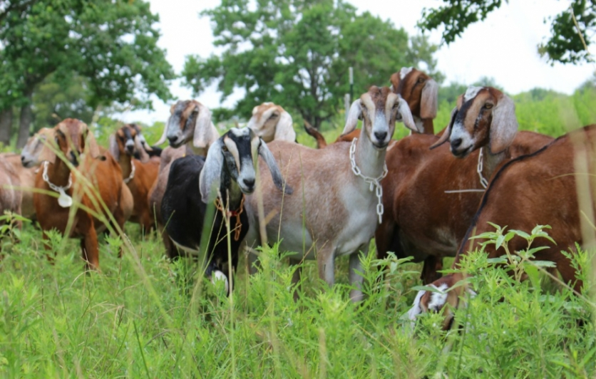 dairy goats,