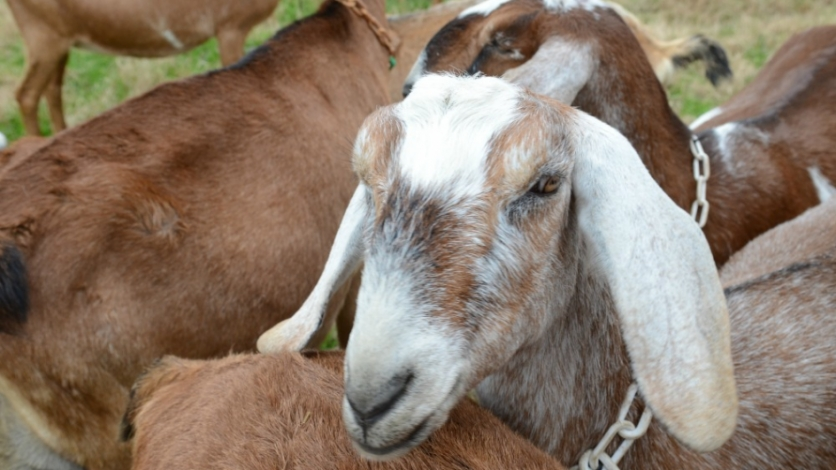 group of goats at All We Need Farm