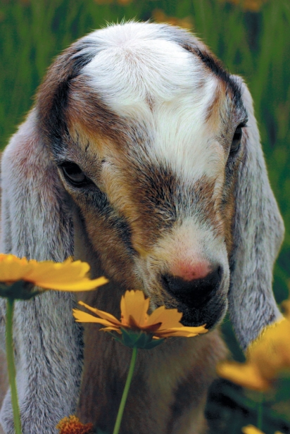 Baby Goat in the flowers