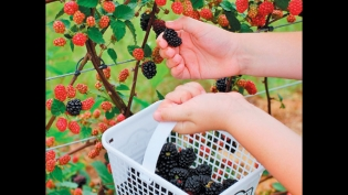 raspberry, black berries